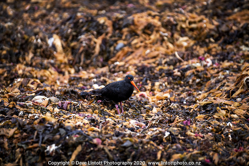 An oystercatcher picks thoruhg seaweed on Princess Beach at 1pm, Monday during lockdown for the COVID19 pandemic in Wellington, New Zealand on Monday, 27 April 2020. Photo: Dave Lintott / lintottphoto.co.nz