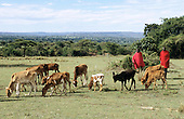 Lolgorian, Kenya. Maasai herdsmen with calves from their herd of cattle.