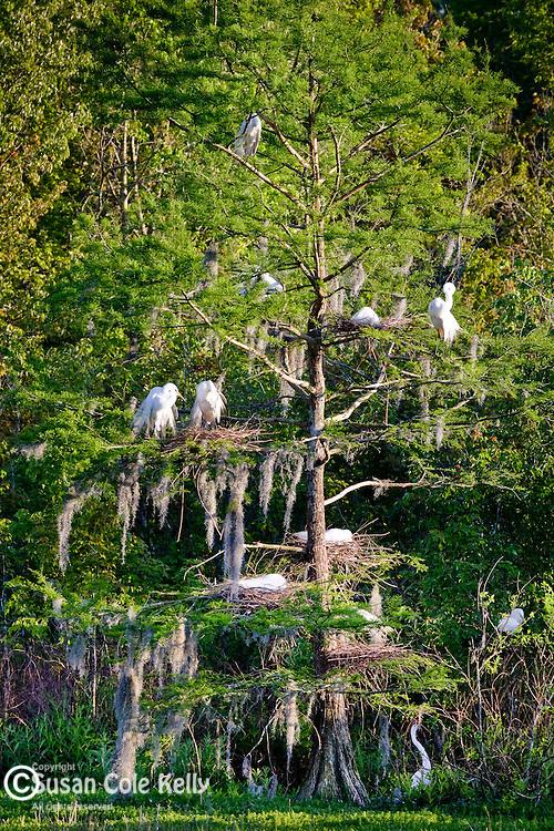 Heron rookery in The Audubon Swamp Garden at Magnolia Plantation, Charleston, SC