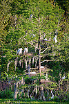 Heron rookery in The Audubon Swamp Garden at Magnolia Plantation, Charleston, SC