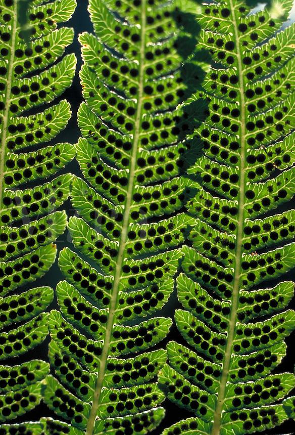 spores on underside of fern leaves.