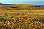 Combine in wheat field harvesting the crop at sunset Eastern Washington State USA.