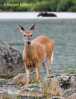 MA11-517z  Northern (Woodland) White-tailed Deer, Odocoileus virginianus borealis