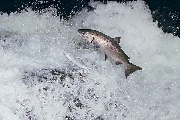 A bright (fresh from saltwater) chinook salmon (Oncorhynchus tshawytscha) leaping falls during migration to its spawning area.  Pacific Northwest.