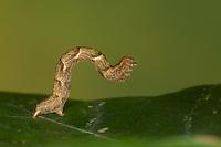Gepunkteter Eichen-Gürtelpuppenspanner, Grauroter Gürtelpuppenspanner, Punktspanner, Raupe, Spannerraupe frisst an Eiche, Cyclophora punctaria, Cosymbia punctaria, Maiden's Blush, caterpillar, Phalène ponctuée, Ephyre ponctuée, Spanner, Geometridae, looper, loopers, geometer moths, geometer moth