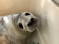 Pictured: The seal pup called Miracle after its rescue in Aberavon beach, Port Talbot, Wales, UK. Tuesday 07 November 2017<br /> Re: A baby seal was rescued from under a one ton rock after being frightened by fireworks.<br /> The pup - nicknamed Miracle - wriggled into a gap between rocks and was unable to get out.<br /> Surfers heard the pup crying and a huge rescue operation was launched at Aberavon Beach, Port Talbot, South Wales.<br /> An RNLI lifeboat crew tried to pull the seal to safety but it was stuck and out of reach.