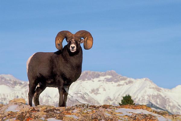 Bighorn ram. Rocky Mountains..Jasper National Park, Canada..Winter. (Ovis canadensis).