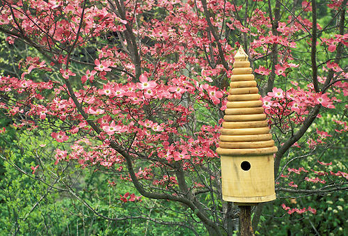 Lathe turned ringed birdhouse of hackberry by pink dogwood tree, Conus florida