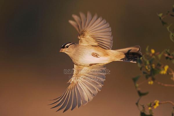 White-crowned Sparrow (Zonotrichia leucophrys), adult in flight, Sinton, Corpus Christi, Coastal Bend, Texas, USA