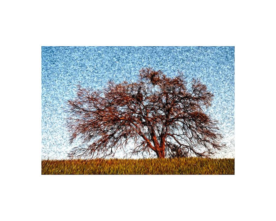 Hillside oak at sundown, early spring
