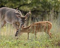 Whitetail Buck vs Fawn.