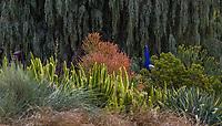 Asparagus densiflorus 'Myers' (Foxtail Fern) with Asparagus densiflorus 'Myers' (Foxtail Fern) Los Angeles Botanic Garden