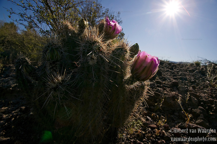 Pink Cactus early in the morning in Arizona.