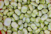 Close-up of broad beans, Chipping, Lancashire.