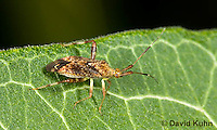 0109-0917  Clouded Plant Bug, Neurocolpus spp.  © David Kuhn/Dwight Kuhn Photography