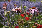 Daisies ( Osteospermum) and Lavender at the Jardin du Soleil Lavender farm in Sequim, WA.  Olympic Penninsula, Washington.  Outdoor Adventure. Olympic Peninsula