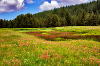 Prairie Smoke wildflowers iand pond in field near Enterprise, Oregon