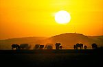 The setting sun silhouettes a herd of elephants in Kenya.