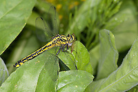 Gemeine Keiljungfer mit Beute, Gomphus vulgatissimus, club-tailed dragonfly, Common Clubtail, Common Club-tail, Flußjungfer, Flussjungfer, Gomphidae