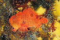 spotfin anglerfish or frogfish, Antennarius nummifer, Izu ocean park, Sagami bay, Izu peninsula, Shizuoka, Japan, Pacific Ocean