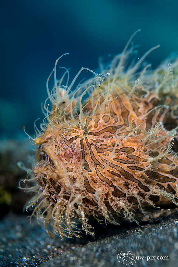 Lembeh Hairy Frogfish (Antennarius striatus)