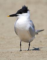 Sandwich tern in March