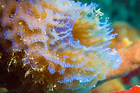 Azure vase sponge - callyspongia plicifera - grows to a height of 45cm/ 1ft 6 inches, and may occur as a single vase of in a clump of two or three. Generally found at depths around 6 - 25m/ 20 - 80ft.