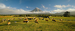 Dairy Cows at sunrise near Mount Taranaki. Taranaki New Zealand.