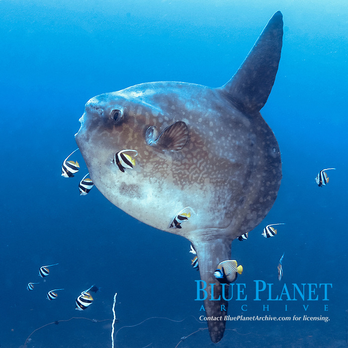 mola mola or ocean sunfish hangs suspended for cleaning at Pura Ped, Nusa Penida, near Bali, Indonesia