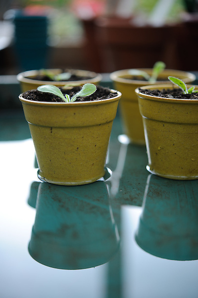 Pricking out and potting on Nicotiana Sylvestris seedlings