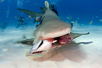 A Lemon shark attacks bait in the Bahamas. Negaprion brevirostris, Caribbean, Atlantic