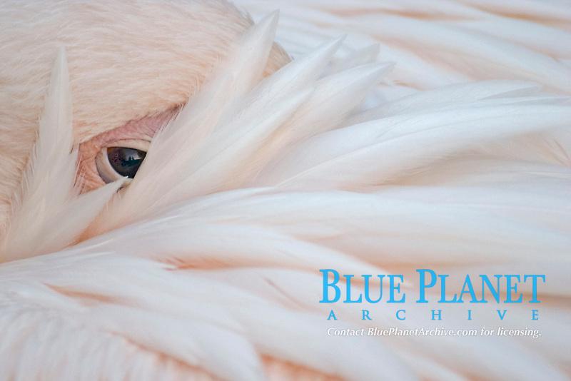 White pelican (Pelecanus onocrotalus) before sleeping