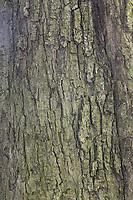 Gewöhnliche Rosskastanie, Rosskastanie, Ross-Kastanie, Kastanie, Rinde, Borke, Stamm, Baumstamm, Aesculus hippocastanum, Horse Chestnut, horse-chestnut, conker tree, bark, rind, trunk, stem, Le marronnier commun, marronnier d'Inde, marronnier blanc