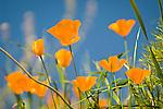 California poppies bloom on the hillside in late winter near the Mokelumne River in the Sierra Foothills as the bare oaks begin to bud near Jackson, Calif.
