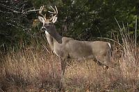 White-tailed Buck (Odocoileus virginianus)