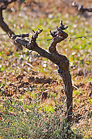 Domaine Fontedicto, Caux. Pezenas region. Languedoc. Vines trained in Gobelet pruning. 30 year old Syrah grape vine variety. France. Europe. Vineyard.