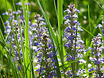 Ajuga Flowers in the Garden, New England, USA