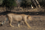 Female African Lion (Panthera leo) walking infront of an alert Impala (Aepyceros melampus). South Luangwa National Park, Zambia.