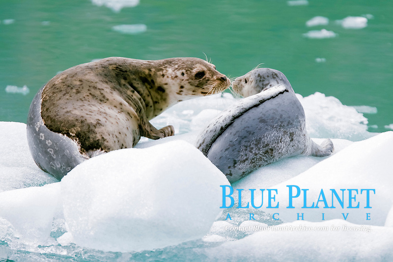Harbor Seal (Phoca vitulina) mother and pup on ice calved from the Sawyer Glaciers in Tracy arm, Southeast Alaska, USA. Pacific Ocean