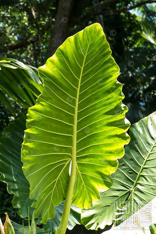 Large elephant ear leaves, or 'ape, at Hawaii Tropical Botanical Garden near Onomea Bay in Papa'ikou near Hilo, Big Island of Hawai'i.