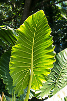 Large elephant ear leaves, or 'ape, at Hawaii Tropical Botanical Garden near Onomea Bay in Papa'ikou near Hilo, Big Island of Hawai'i.