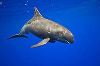 pygmy killer whale, Feresa attenuata, scout with many scars and rake marks, Kona Coast, Big Island, Hawaii, Pacific Ocean