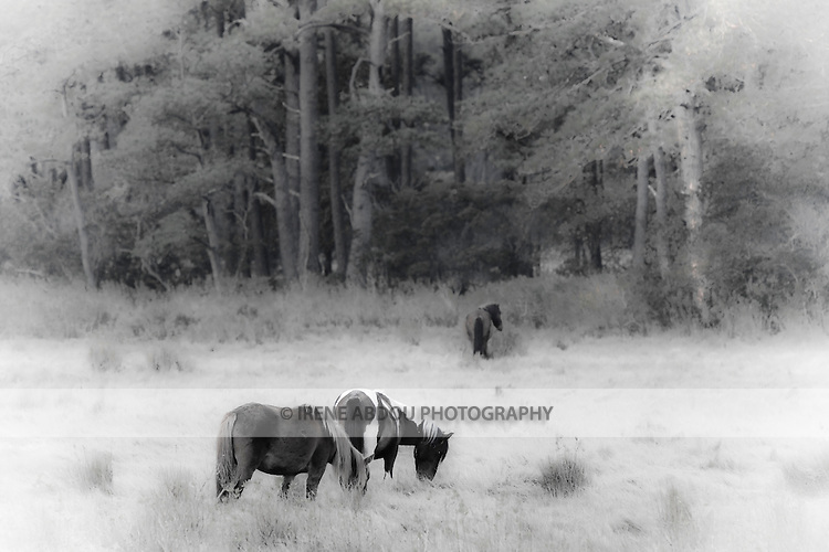 Wild ponies in the Chincoteague National Wildlife Refuge on Assateague Island, Virginia.