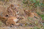 African Lion (Panthera leo) mother and cubs, Kafue National Park, Zambia