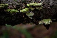 Mushrooms on Fallen Tree, Shaw Island, Washington, US