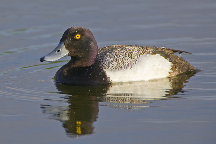 Lesser Scaup drake swimming on a pond