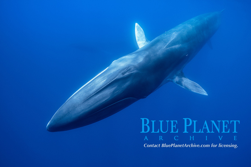 fin whale, Balaenoptera physalus, Pico island, Azores, Portugal, Atlantic Ocean