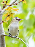 red-eyed vireo, Vireo olivaceus, singing in spring time woods, Nova Scotia, Canada