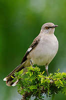 Adult Northern Mockingbird (Mimus polyglottos). Starr County, Texas. March.
