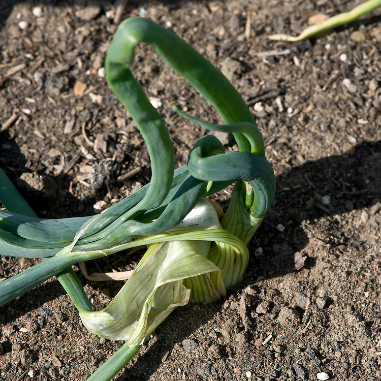 Swollen, distorted onion leaves caused by stem and bulb eelworm (Ditylenchus dipsaci), end May.